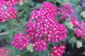 Red Yarrow