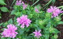 A Puff of Pink (Bee Balm)