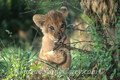 African Lion Cub playing with Small Branch