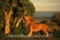 African Lion Male Rubbing against Acacia Tree, Maasai Mara, Kenya