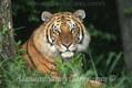 Bengal Tiger Close up
