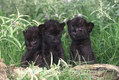 Black Leopard Cubs