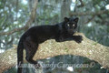 Black Leopard in Tree