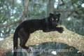 Black Leopard in Tree