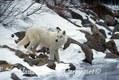 White Wolf in Winter, Canada
