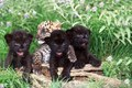 leopard cubs spotted & black playing