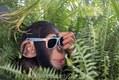 Chimpanzee with sunglasses
