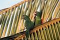 Crimson fronted parakeet